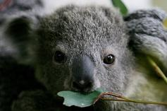 Koalas Projected To Become Extinct In NSW Before 2050