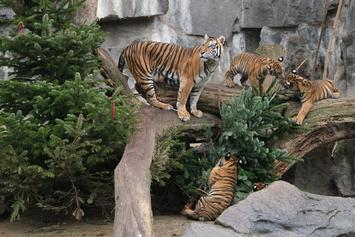 Tiger At Bronx Zoo In NYC Tests Positive For Coronavirus